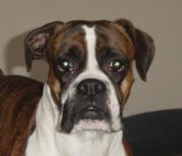 tessy . my sweetest boxer